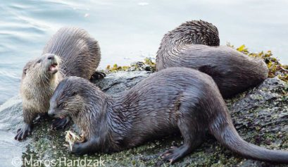 BC City Otters