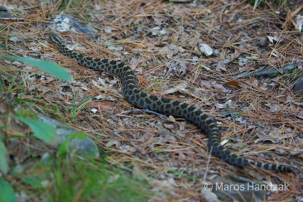 Massasauga Rattlesnake - Georgian Bay Islands